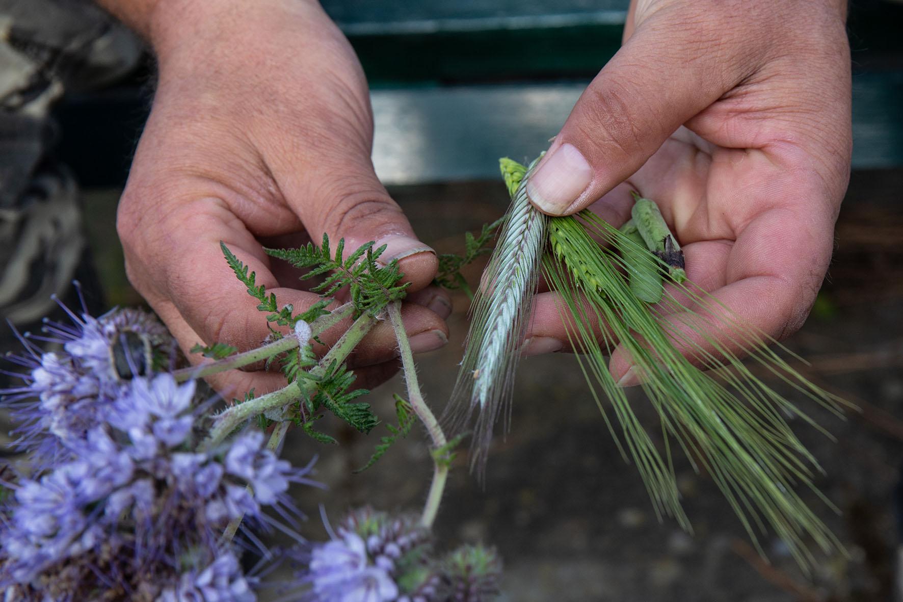 il pisello da foraggio ed altre leguminose