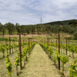 giovane vigneto di bianchetta genovese, vini liguri